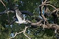 White bellied sea eagle 2 (14791960199).jpg