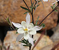 White columbine closeup front.jpg