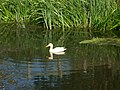 White duck - geograph.org.uk - 1336274.jpg