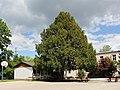 Wien-Penzing - Naturdenkmal 608 - Europäische Eibe (Taxus baccata) I.jpg