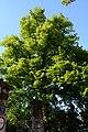 Wiener Naturdenkmal 455 - Winterlinde (Hietzing) g.JPG