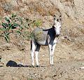 Wild Burros, San Timoteo Canyon 7-12 (7604961170).jpg