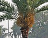 Wild Date Palm (Phoenix sylvestris) tree with female flowers at Narendrapur W IMG 4054