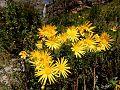 Wild Flowers in the Jonkershoek Mountains - panoramio.jpg