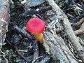 Wild Red Mushroom 2.jpg
