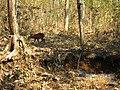 Wildlife's @ Bandipur Tiger Reserve - panoramio (6).jpg