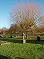 Willow Tree Dry Drayton Churchyard - geograph.org.uk - 1075345.jpg