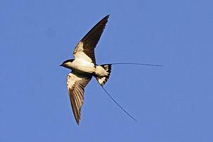 Hirundo - Image: Wire tailed Swallow Hirundo smithii by Dr. Raju Kasambe
