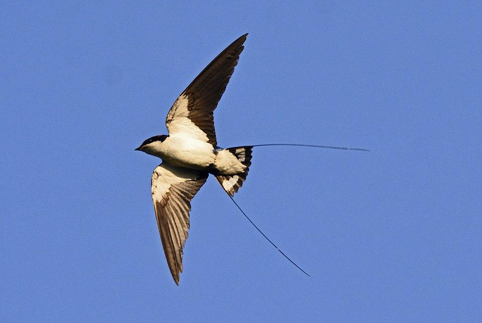 Wire-tailed Swallow Hirundo smithii by Dr. Raju Kasambe