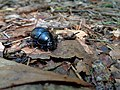 Wolin National Park-beetle.jpg