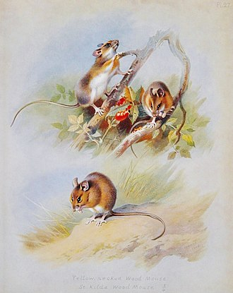 "Wood mouse - ""Harvest, Wood Mouse"" illustration from ""British Mammals"" by A. Thorburn, 1920"