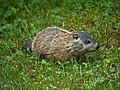 Woodchuck offspring in our yard (5826411292).jpg