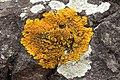 Xanthoria calcicola 79087186.jpg