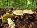 Xerocomellus chrysenteron (Syn. Boletus chrysenteron) (35255669413).jpg