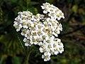 Yarrow (Achillea millefolium) (9642720961).jpg