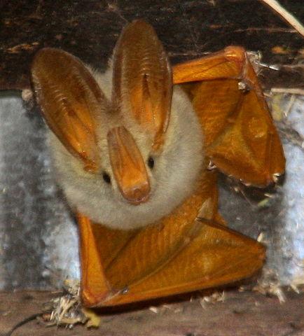 [Image: 434px-Yellow-Winged_Bat.jpeg]