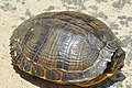 Yellow-bellied slider (04).jpg