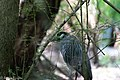 Yellow-crowned Night-Heron Boy Scout Woods High Island TX 2018-04-19 11-18-55 (41926981362).jpg
