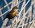 Yellow-headed Blackbird (f) collecting nesting material from reeds (34226828320).jpg