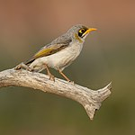 Yellow-throated Miner - Sturt National Park.jpg