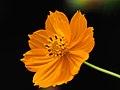 Yellow Cosmos Flower (231809525).jpeg