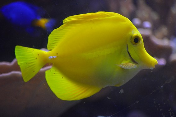 Yellow Tang at Ripley's Aquarium of Canada.jpg