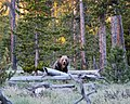 Yellowstone grizzly.jpg