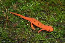 Strikingly red eft on moss-covered ground