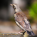 Young Fieldfare.jpg