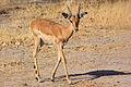 Young impala.jpg