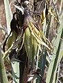 Yucca baccata 5.jpg