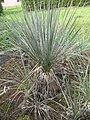 Yucca glauca subsp. stricta fh 515 KS in cultur in der Sammlung F. Hochstatter B.jpg