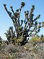 Yucca species (5761382624).jpg