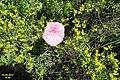 Zakynthos flora (Kor) (34586996884).jpg