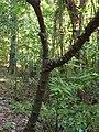 Zanthoxylum nitidum trunk.jpg