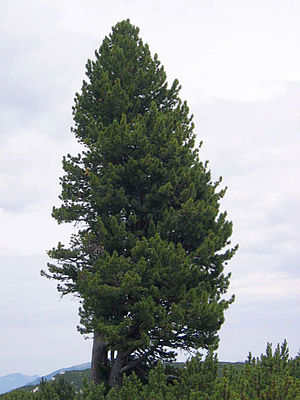 Pinus cembra - Swiss pine growing on the Dachstein, Austria