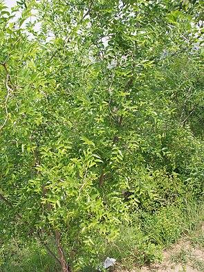 Chinesische Jujube (Ziziphus zizyphus)