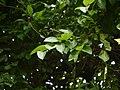 Ziziphus caracutta (5849473379).jpg