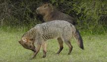 Argentina-Flora e Fauna-Zorros ( Cerdocyon thous ) en el Palmar, Entre Ríos, Argentina 1