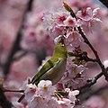 Zosterops japonicus (eating Sakura).JPG