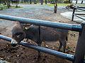 Zwergesel (Zoo Dresden).jpg