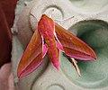 """impossibly Pink"" Elephant Hawkmoth. Deilephila elpenor (42431618420).jpg"