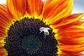 'Harlequin' sunflower IMG 1014.jpg