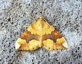 (1765) Barred Yellow (Cidaria fulvata) - Flickr - Bennyboymothman (1).jpg