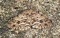 (1947) The Engrailed (Ectropis bistortata) (6977793383).jpg