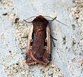 (2102) Flame Shoulder (Ochropleura plecta) - Flickr - Bennyboymothman (1).jpg