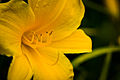 (280-365) Yellow beauty (6059763299).jpg