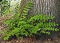 (MHNT) Hypericum androsaemum - Habit.jpg