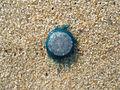 (Porpita porpita) Blue button in Bay of Bengal 04.JPG