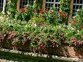 Łańcut - róże Lancut - roses - panoramio.jpg